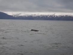 Humpback whale in Skjálfandy Bay