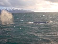 Blue whale in Skjálfandy Bay