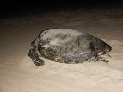 Green turtle, WA