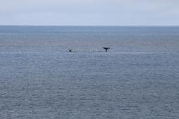 Humpbacks feeding