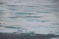 Polarbear cubs