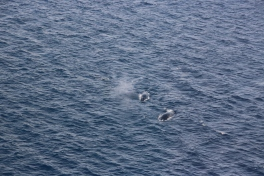 Finwhales